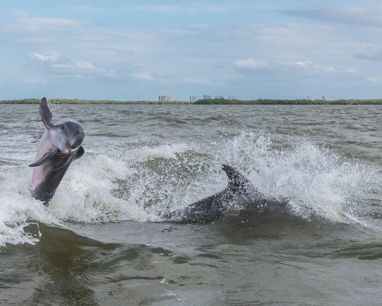Dolphins Fort Myers Sanibel Florida