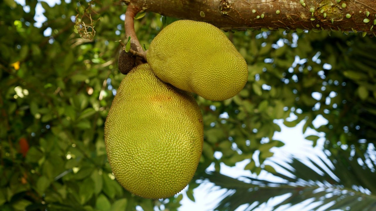 Jackfruit in tree