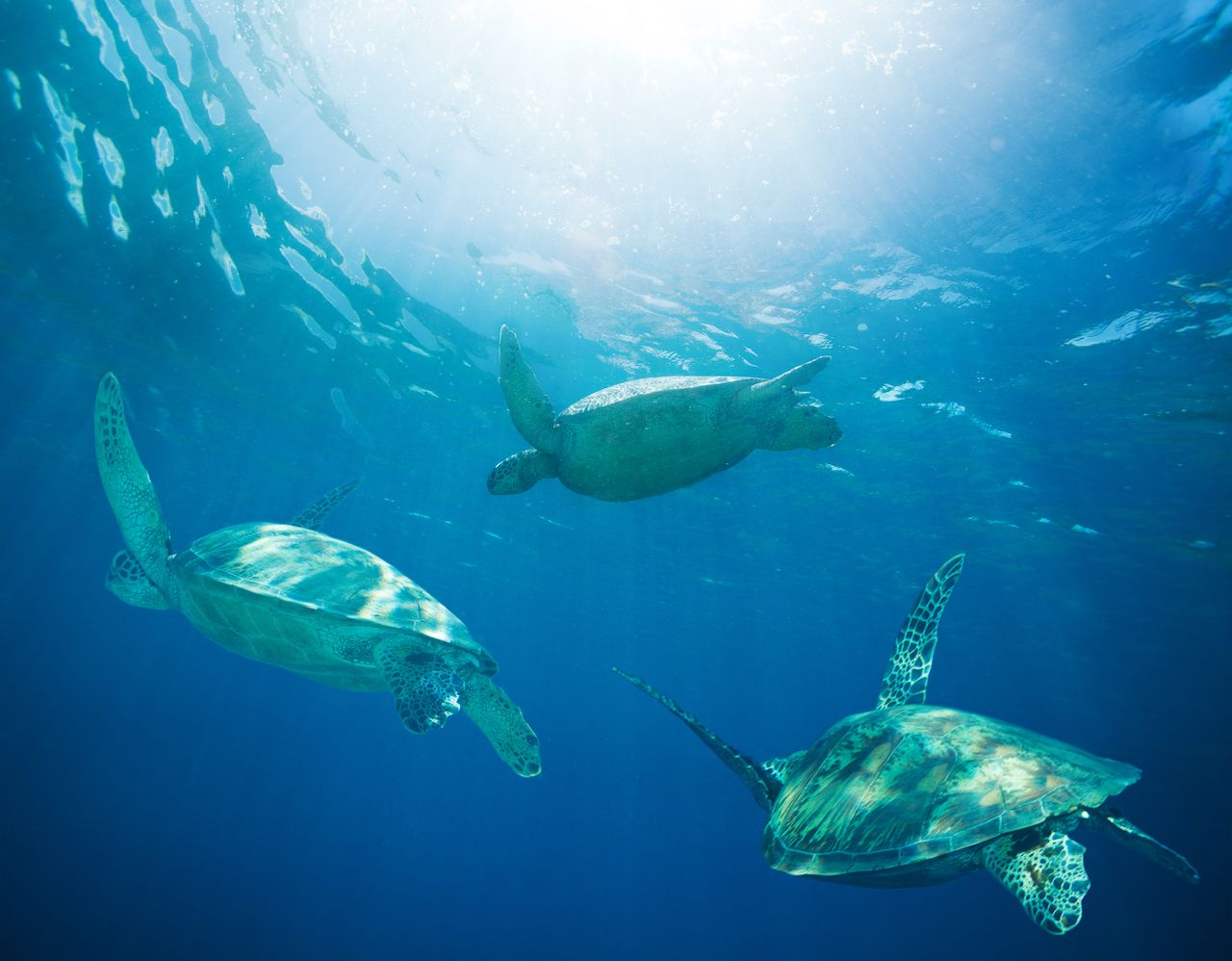 Migrating green sea turtles