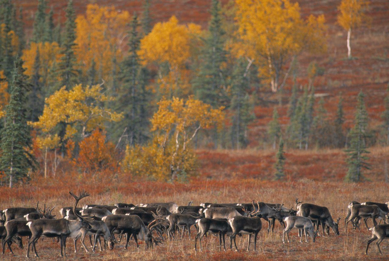 Mirgating caribou