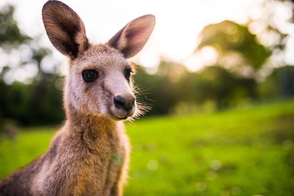 Kangaroo in wild