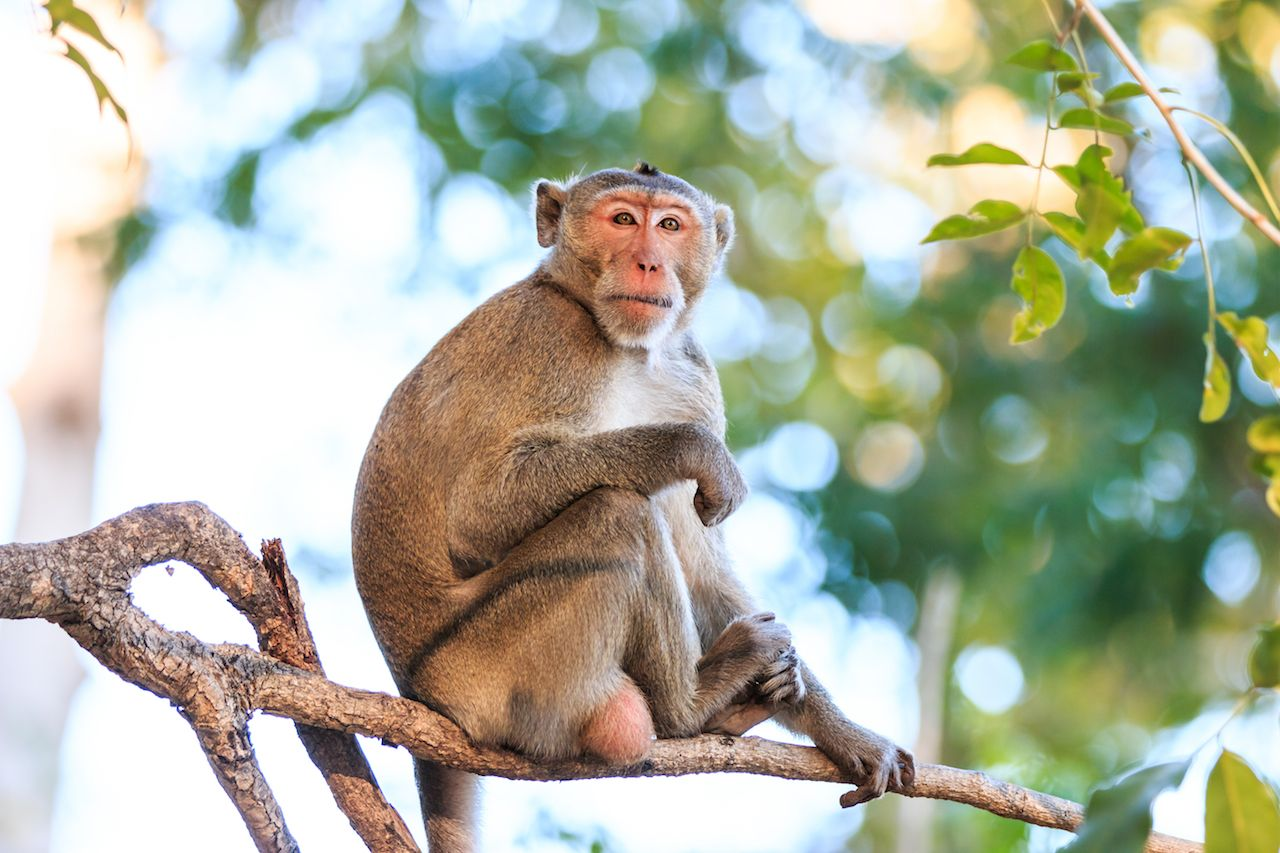 Monkey in Thailand