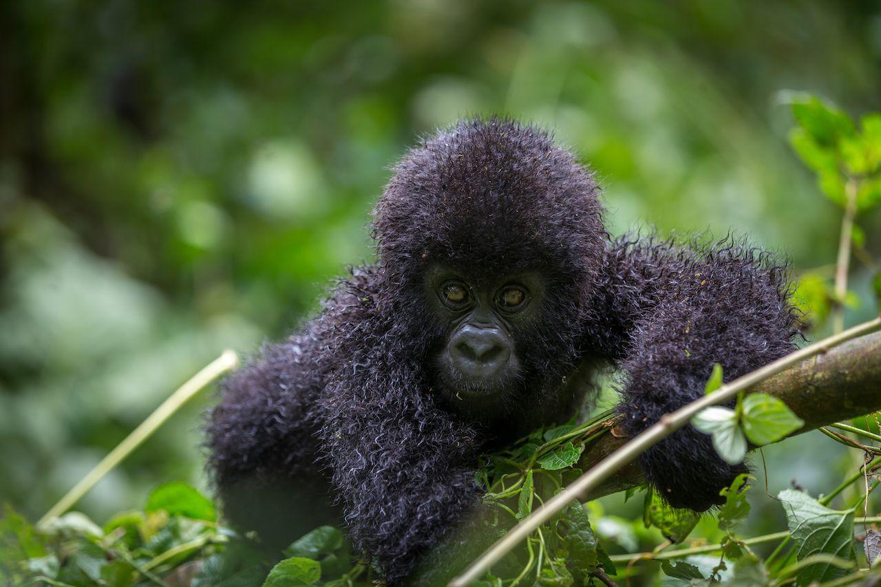 Gorilla inside Virunga, DRC