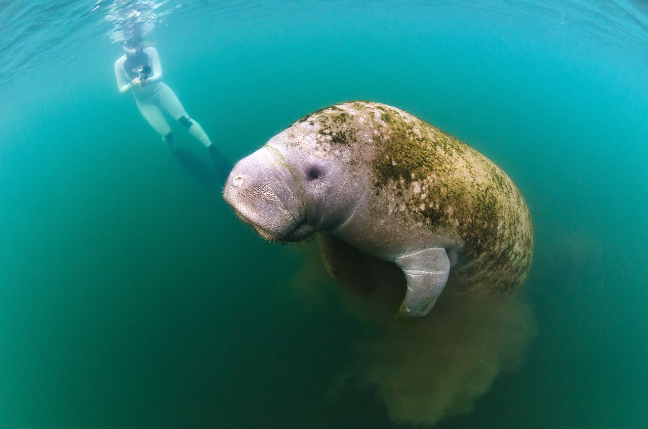 A young female films a manatee as it surfaces in Kings Bay while grazing on the algae in the bay