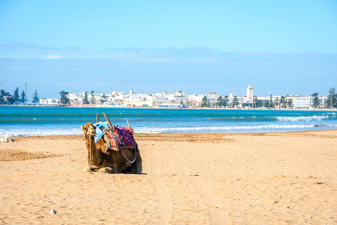 Camel sitting on beach in Morocco