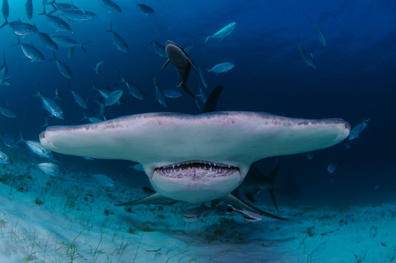 Closeup Shot of Hammerhead Shark Swimming towards You in Clear Waters of Bahamas