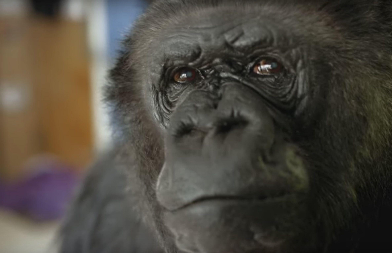 Koko the gorilla dies at 46