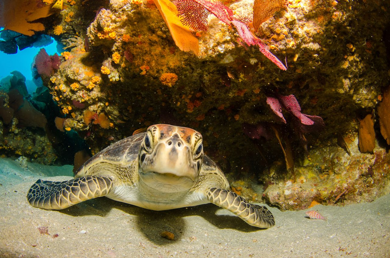Sea turtle resting in the reefs of Cabo Pulmo National Park, Baja California Sur, Mexico.