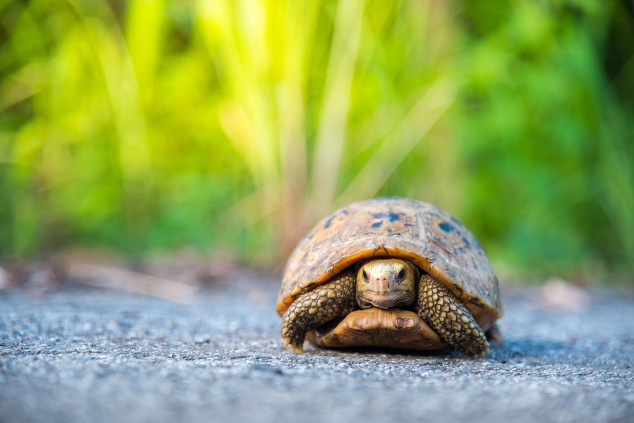 Tortoise escapes very slowly