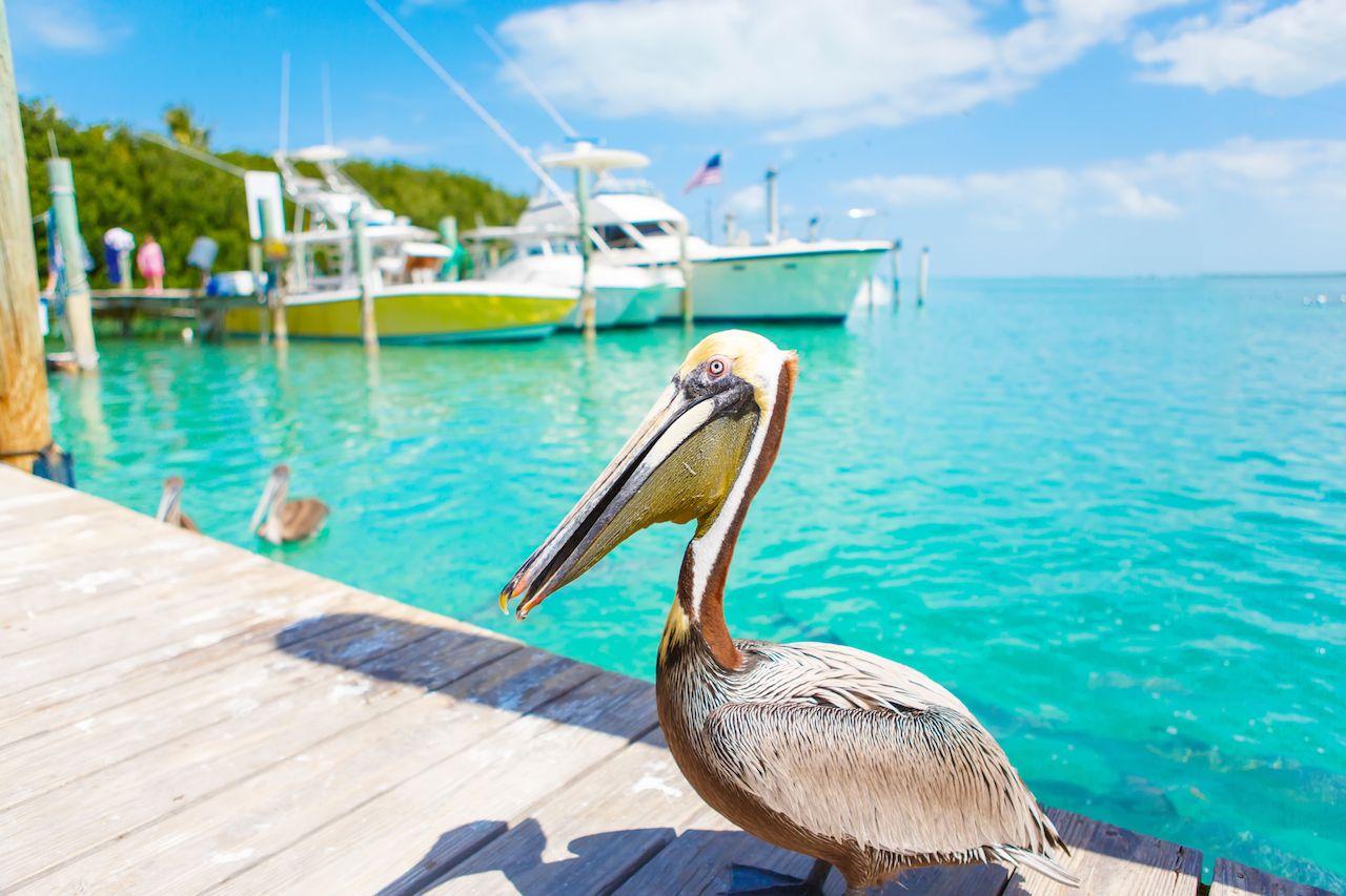 Big brown pelicans in port of Islamorada, Florida Keys