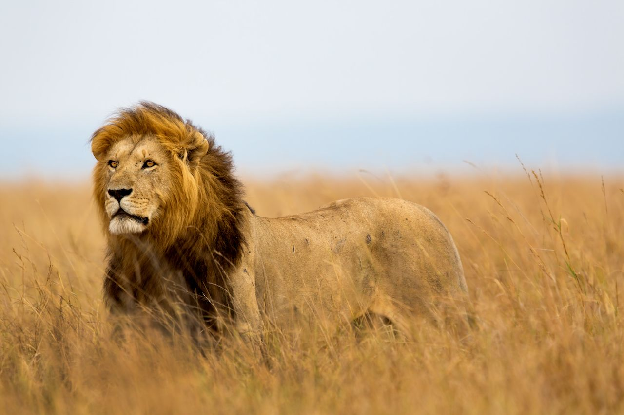 Lion trophy ban lifted by US