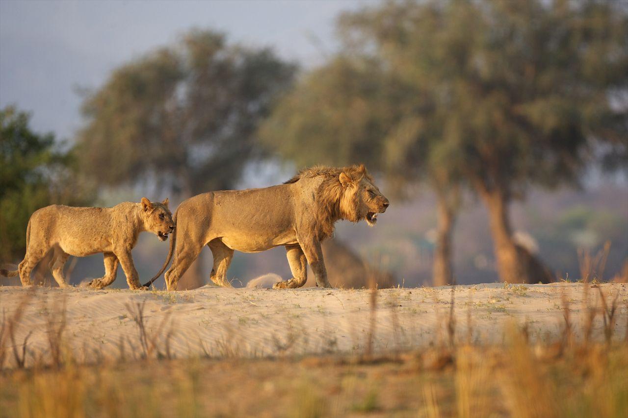 Lions roaming