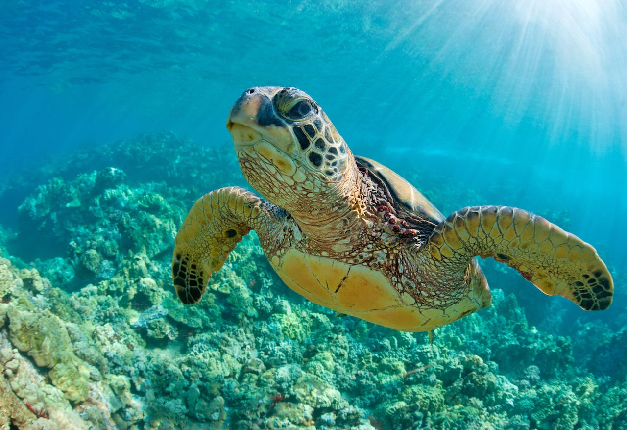 Sea turtle swimming over a coral reef in Hawaii