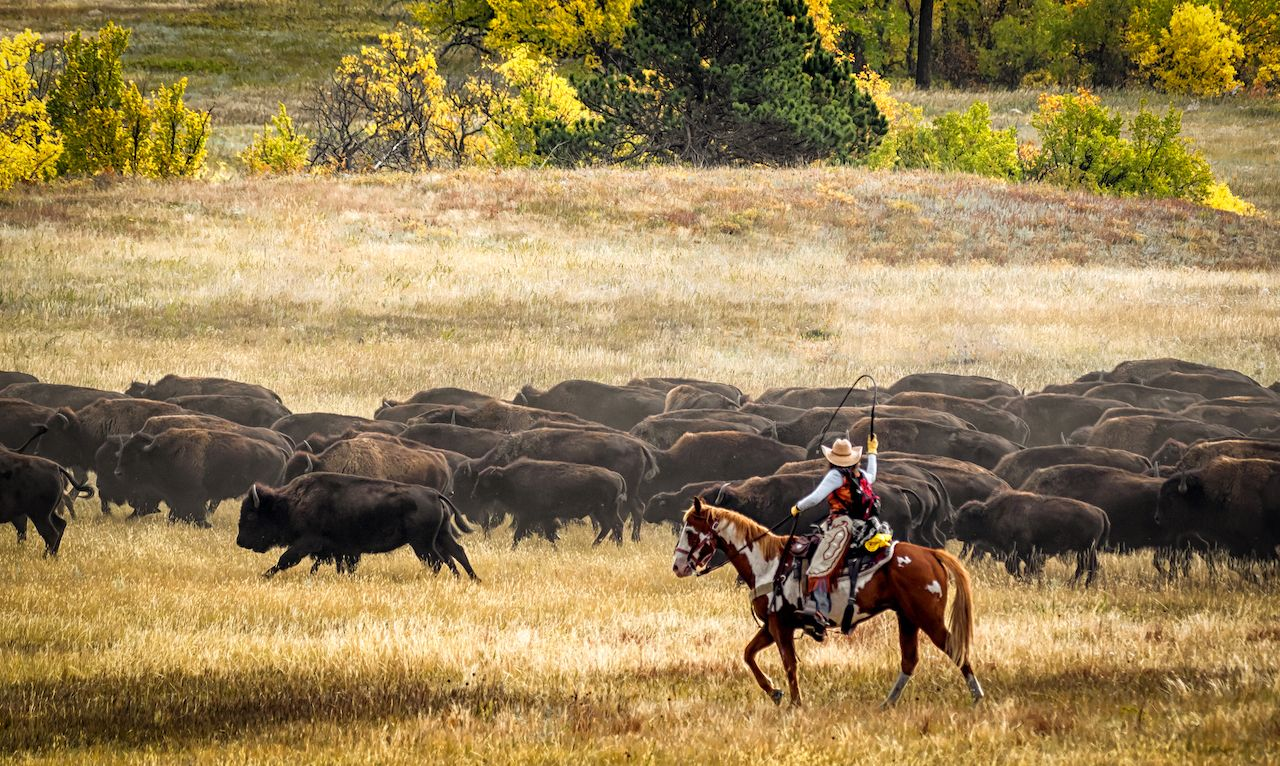 South Dakota buffalo herding