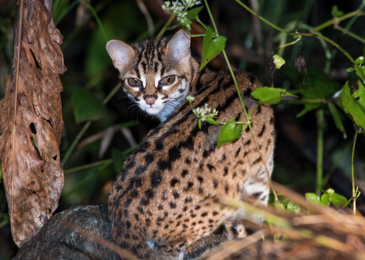 Borneo Is Home Of Some Of The World S Most Elusive Cats Here They Are