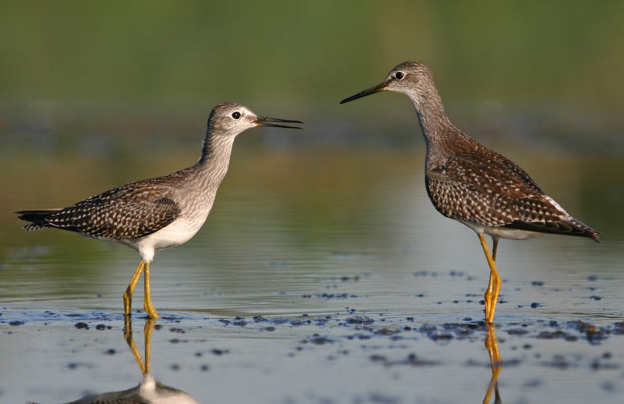 Two lesser yellowlegs birds at Jamaica Bay Wildlife Refuge
