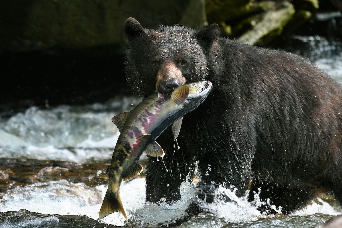 WFR Black Bear w Chum Salmon