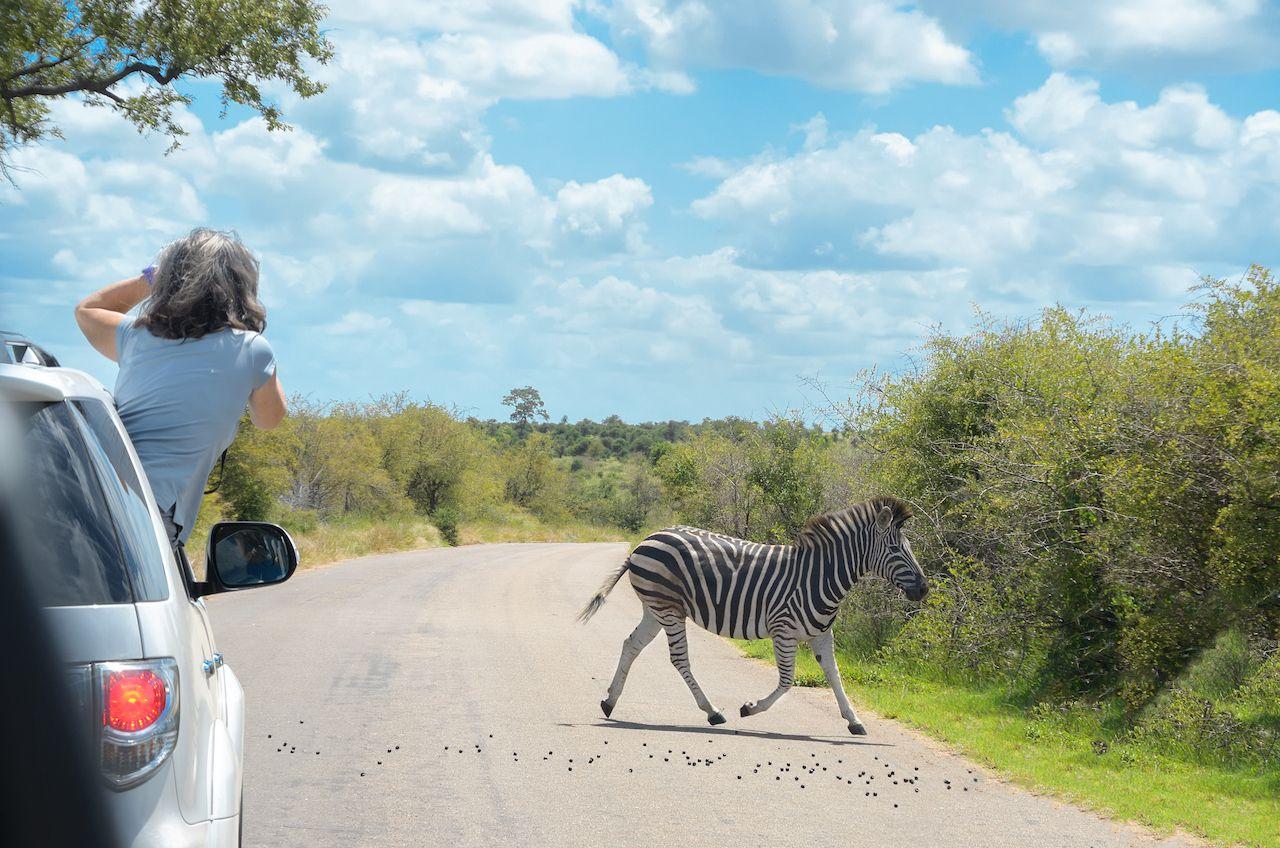 Zebra crossing the road
