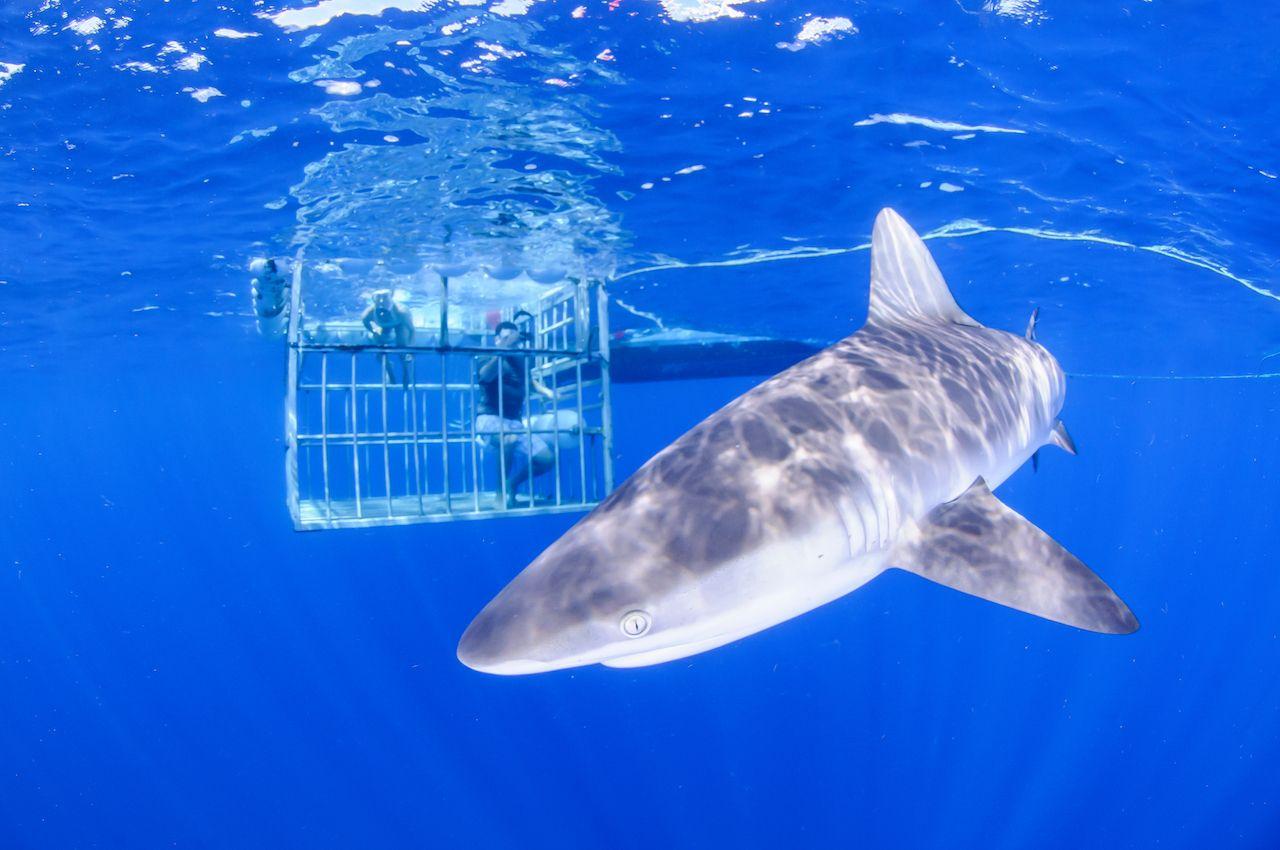 sandbar shark with cage diver