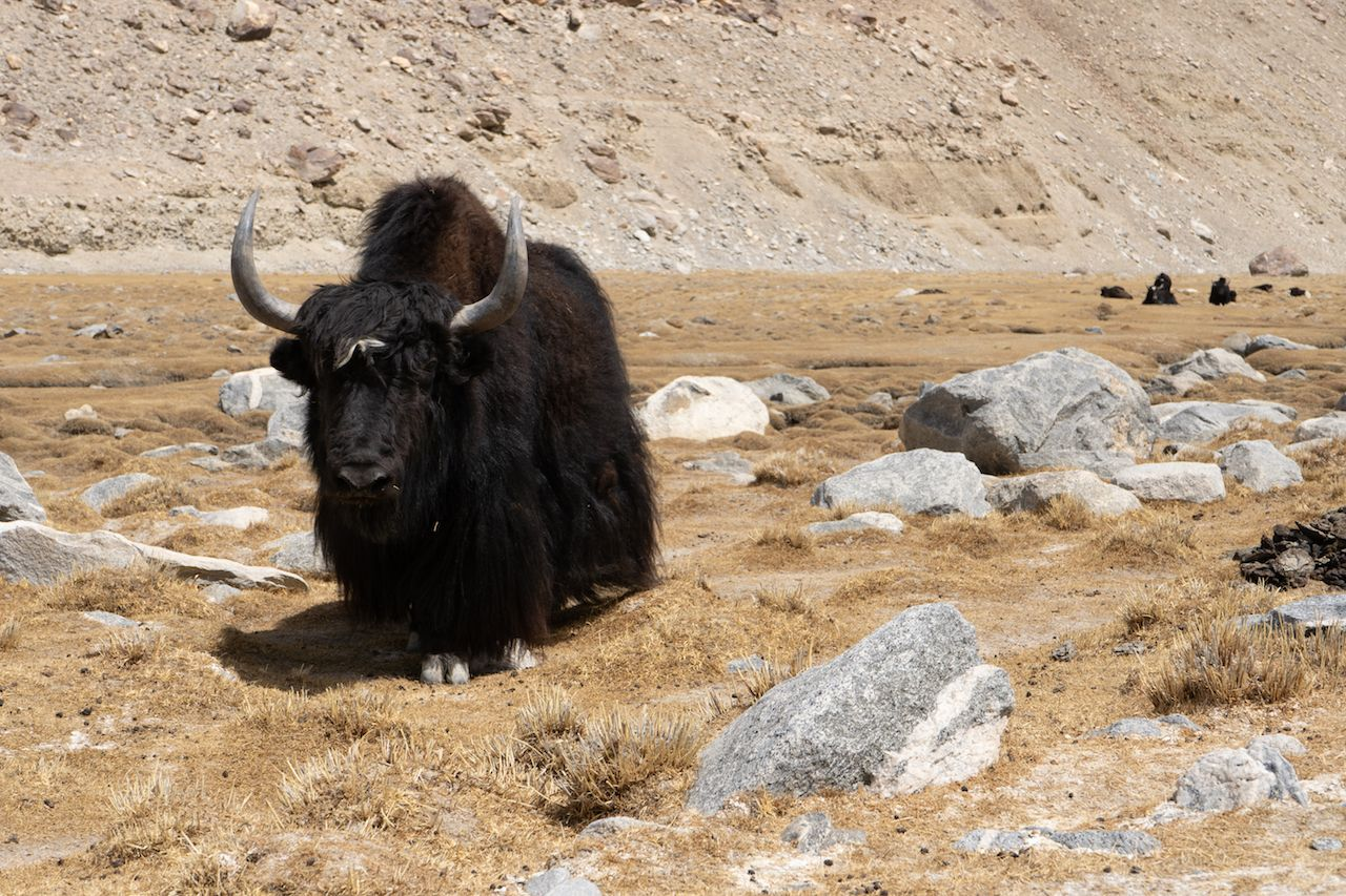 black yak and landscape