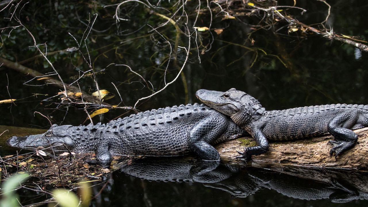 Alligators in Big Cypress, FL