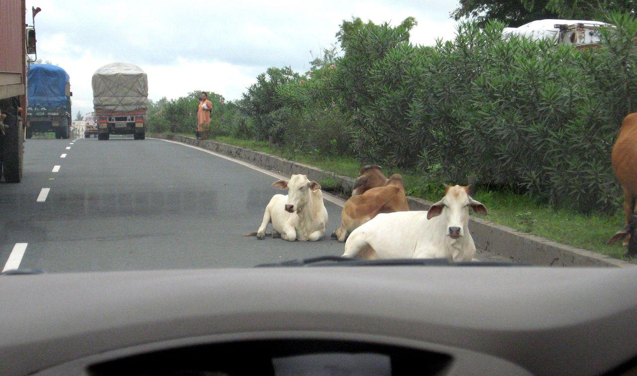 Cows blocking traffic in India