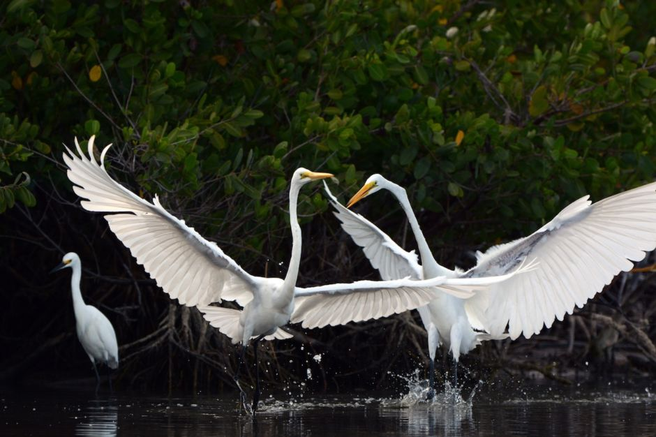 Egrets Fort Myers Sanibel