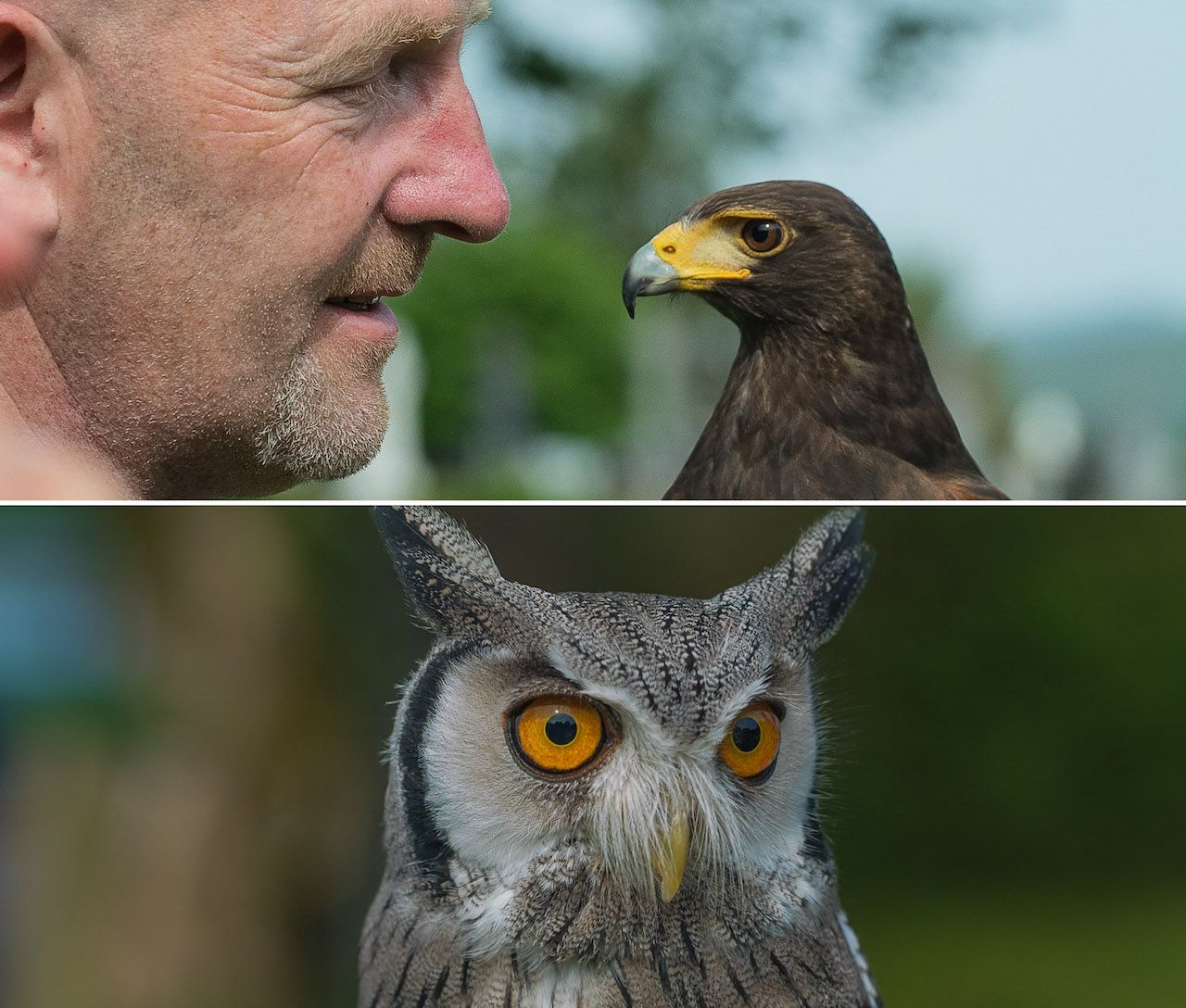 Falconry Collage