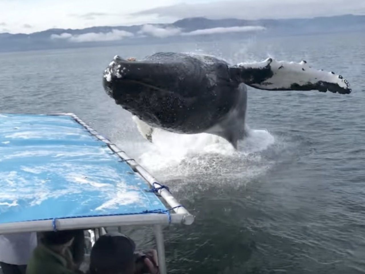 Humpback whale epic leap by boat