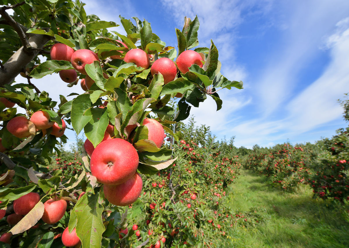 Best Places To Go Apple Picking In The United States