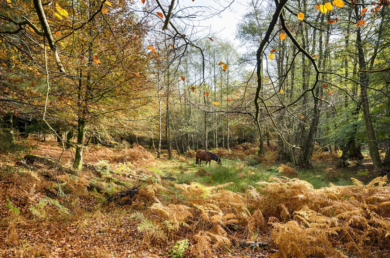 Autumn in the New Forest at Bolderwood, England
