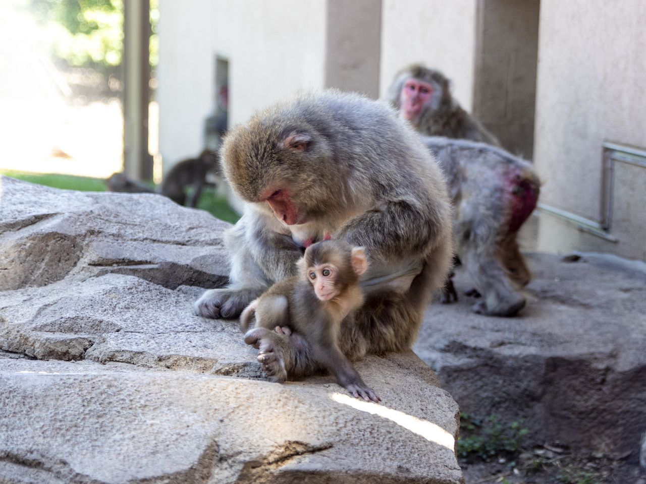 Baby Japanese snow monkey with adults at the Great Plains Zoo