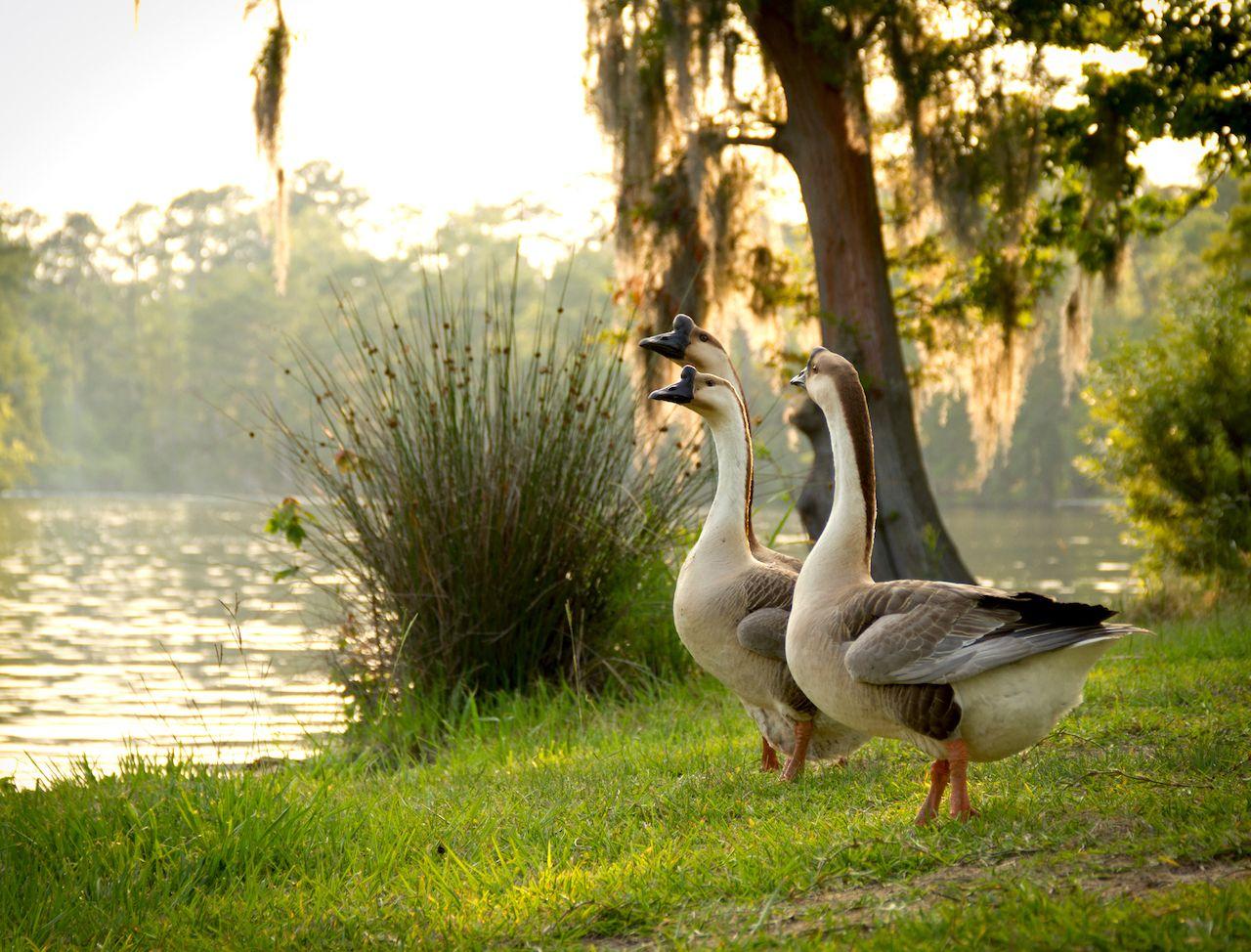 Chinese geese admiring Sam Houston Jones State Park