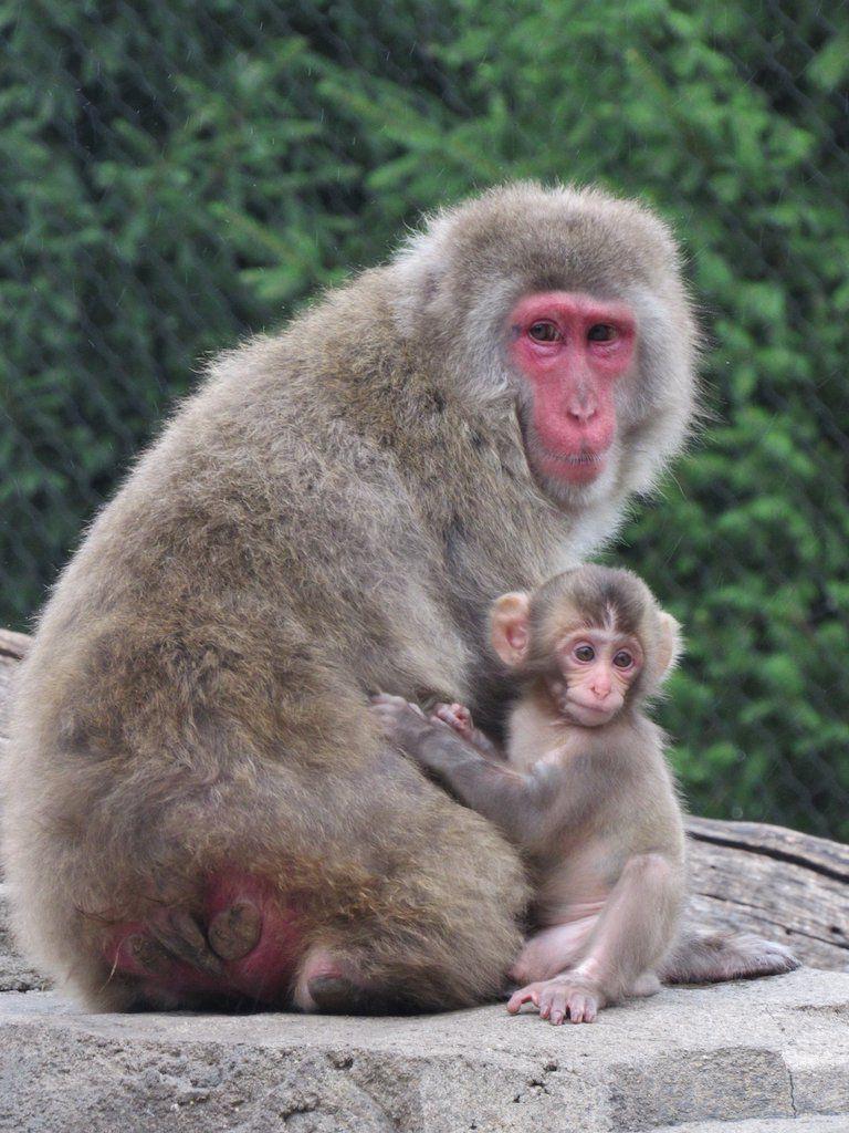 Hepp Snow Monkey mom and baby