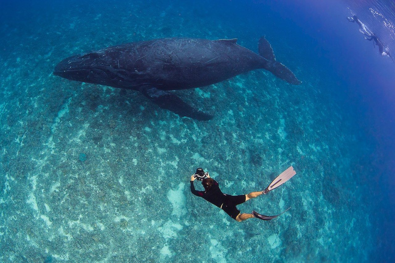 Humpback whale swimming with a diver taking a photo