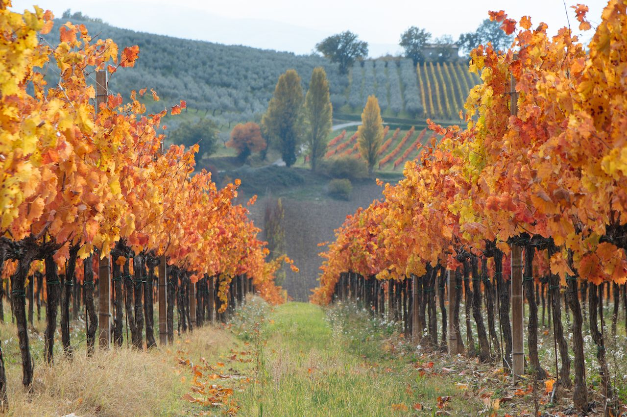 Italian vineyard in autumnal foliage and Sagrantino grapes in Italy, Umbria, Montefalco