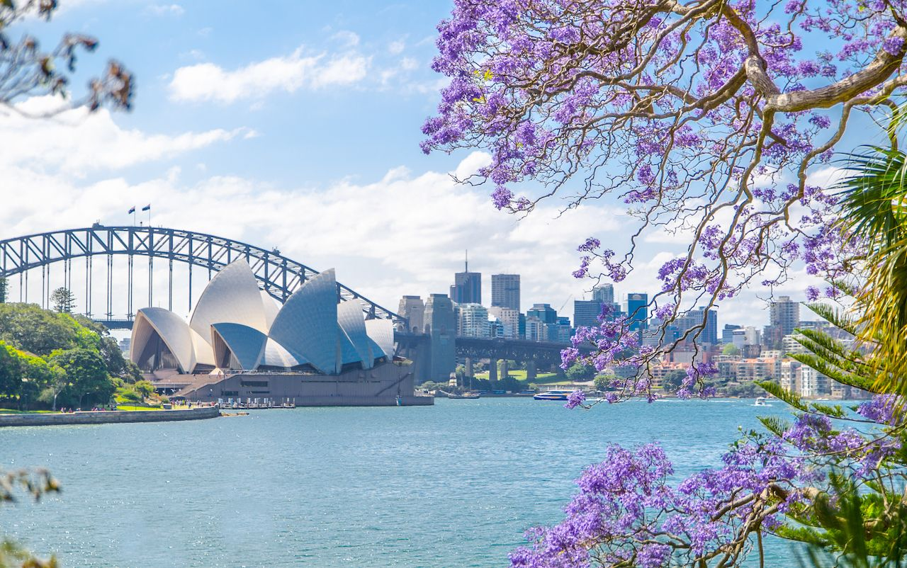 Jacaranda bloom in Sydney, Australia, with a view of the Sydney Opera House