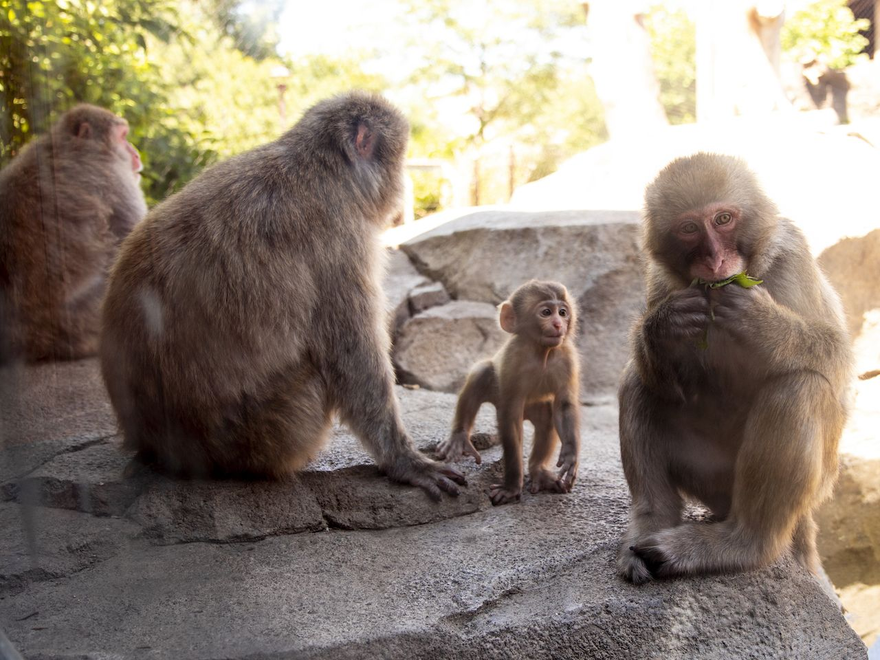 Japanese snow monkeys in the zoo