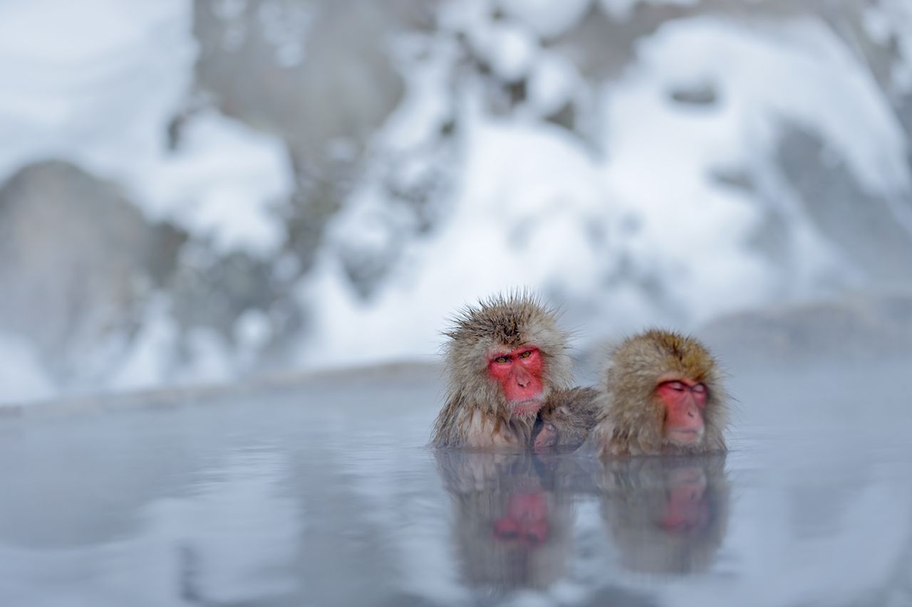 Red-faced Japanese snow monkeys in an onsen