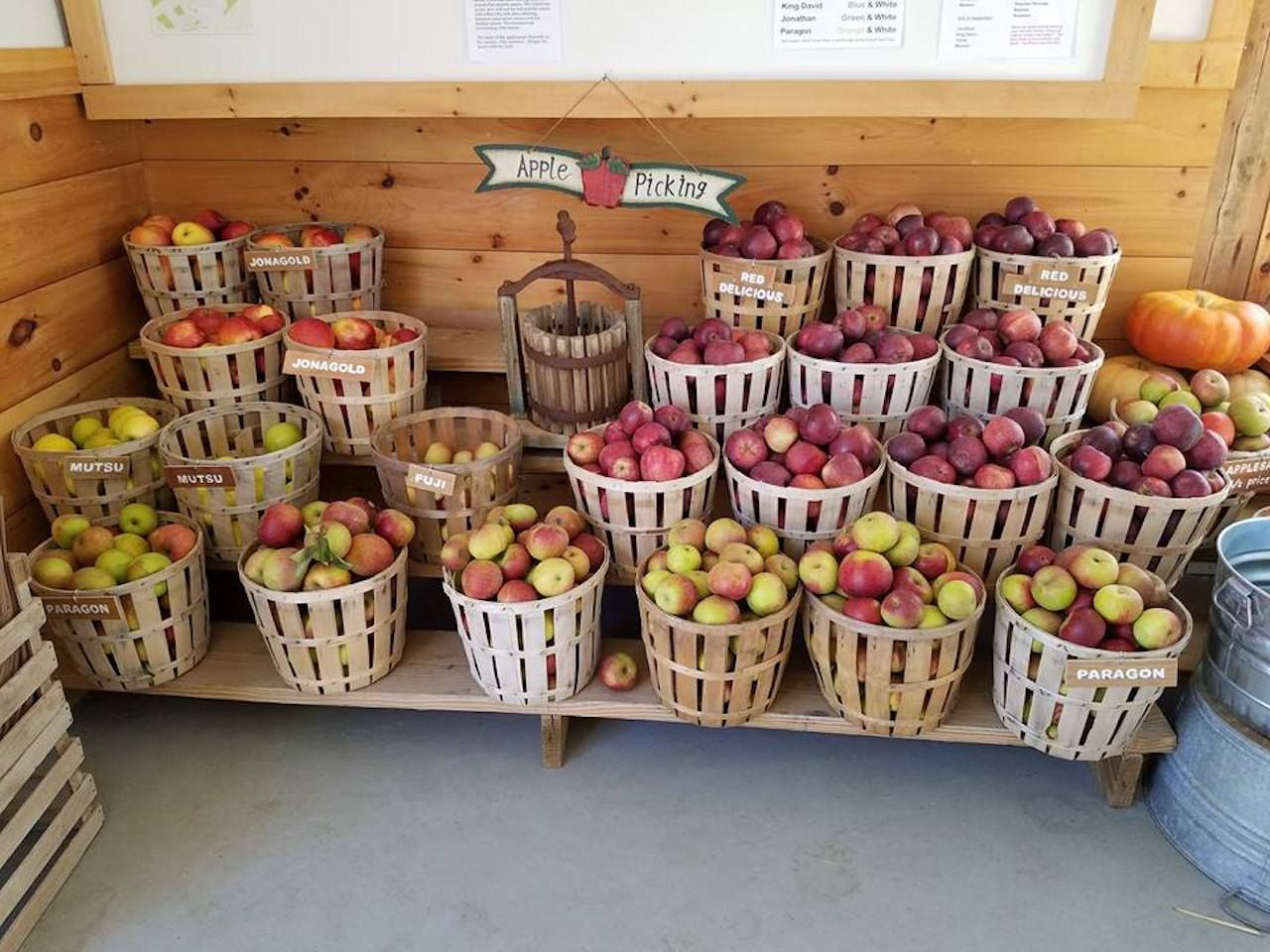Apple picking at Riamede Orchard in Elmer, New Jersey