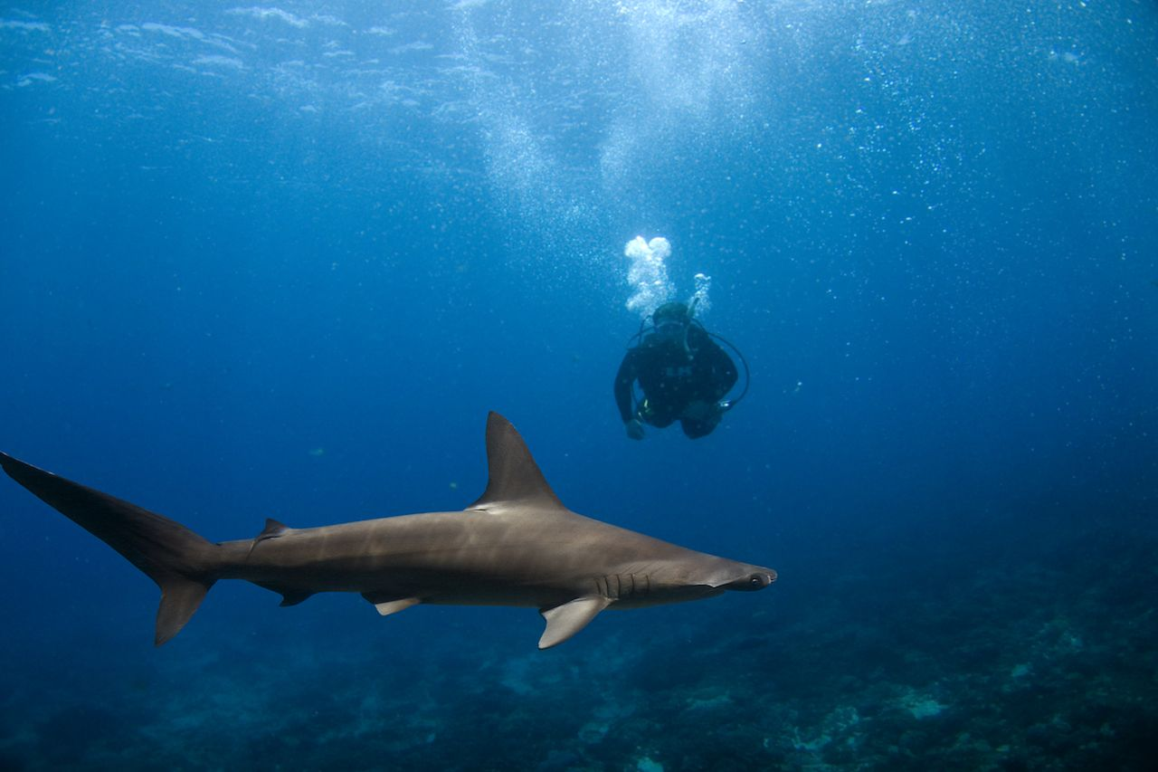 Scalloped Hammerhead Shark swimming over reef with diver in the blue background