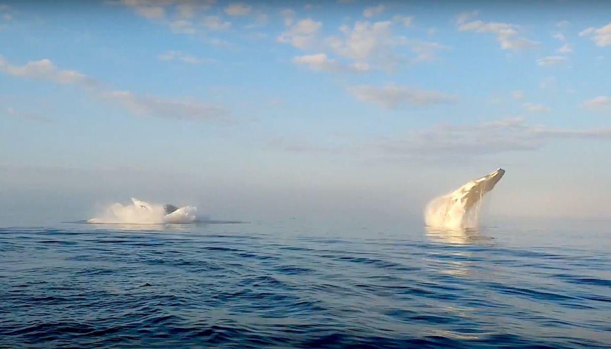 שלישיית לוויתנים גדולי סנפיר נותנים שואו של פעם בחיים לתיירים