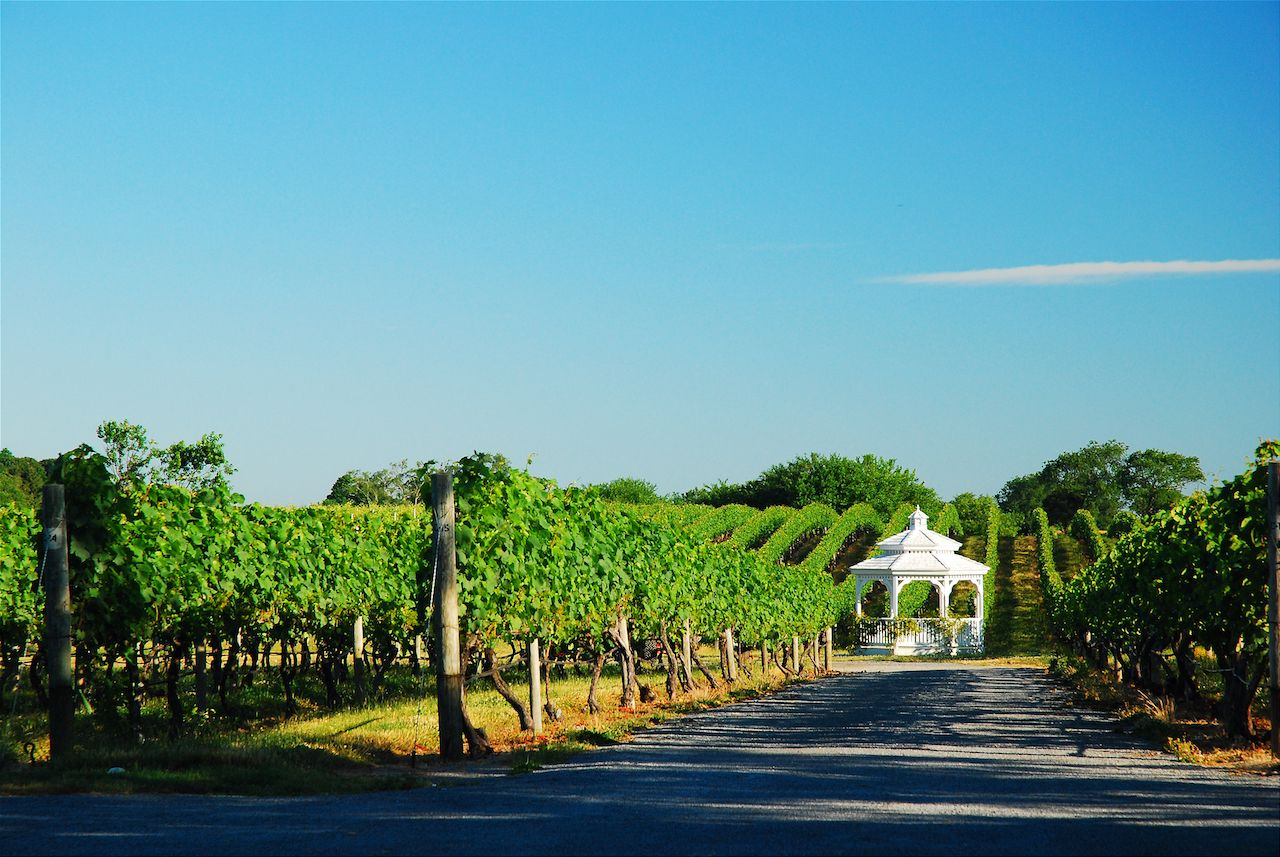 Vineyard in Cutchogue, New York, on Long Island