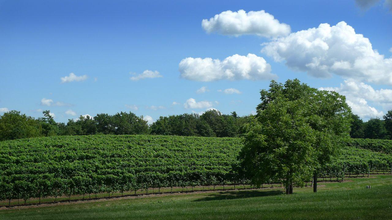 Vineyard in the Niagara Region of Canada