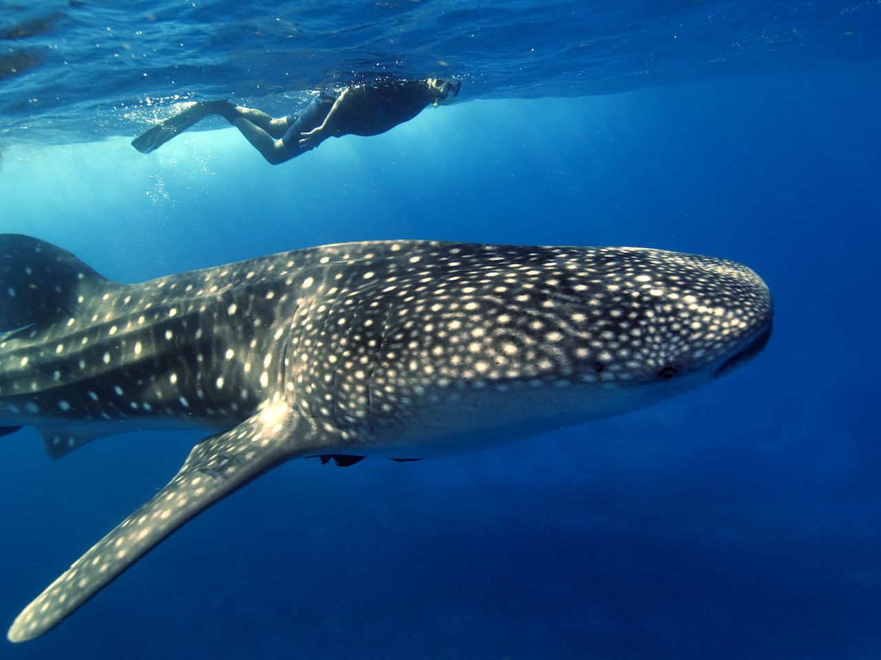 A whale shark swimming just below the surface of the sea with a snorkeler swimming along side