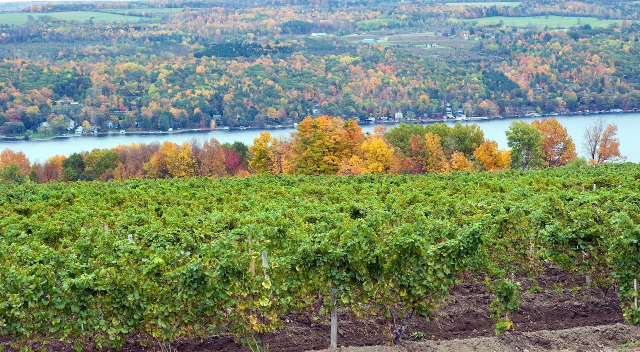 vineyard on Keuka Lake, a New York Finger Lake, with green wine grape vines and autumn trees