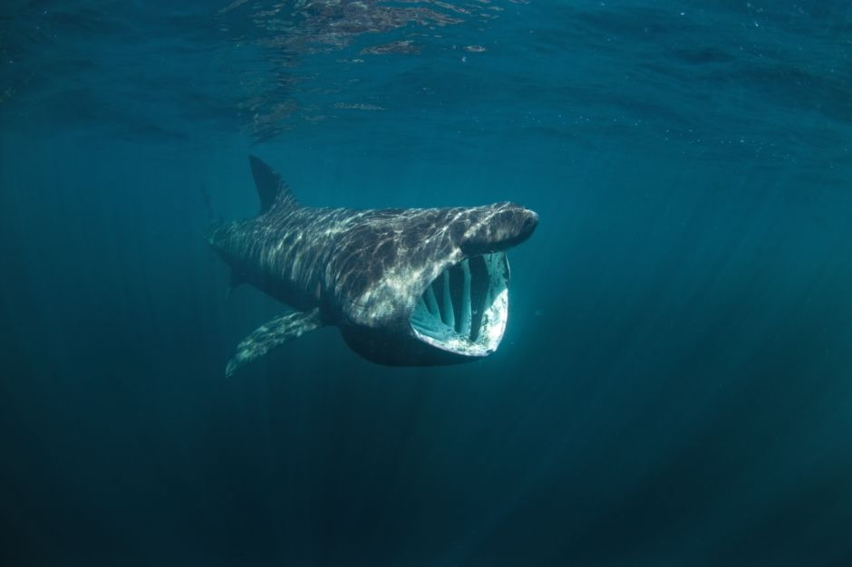 Basking shark Coll Island Scotland Visit Britain
