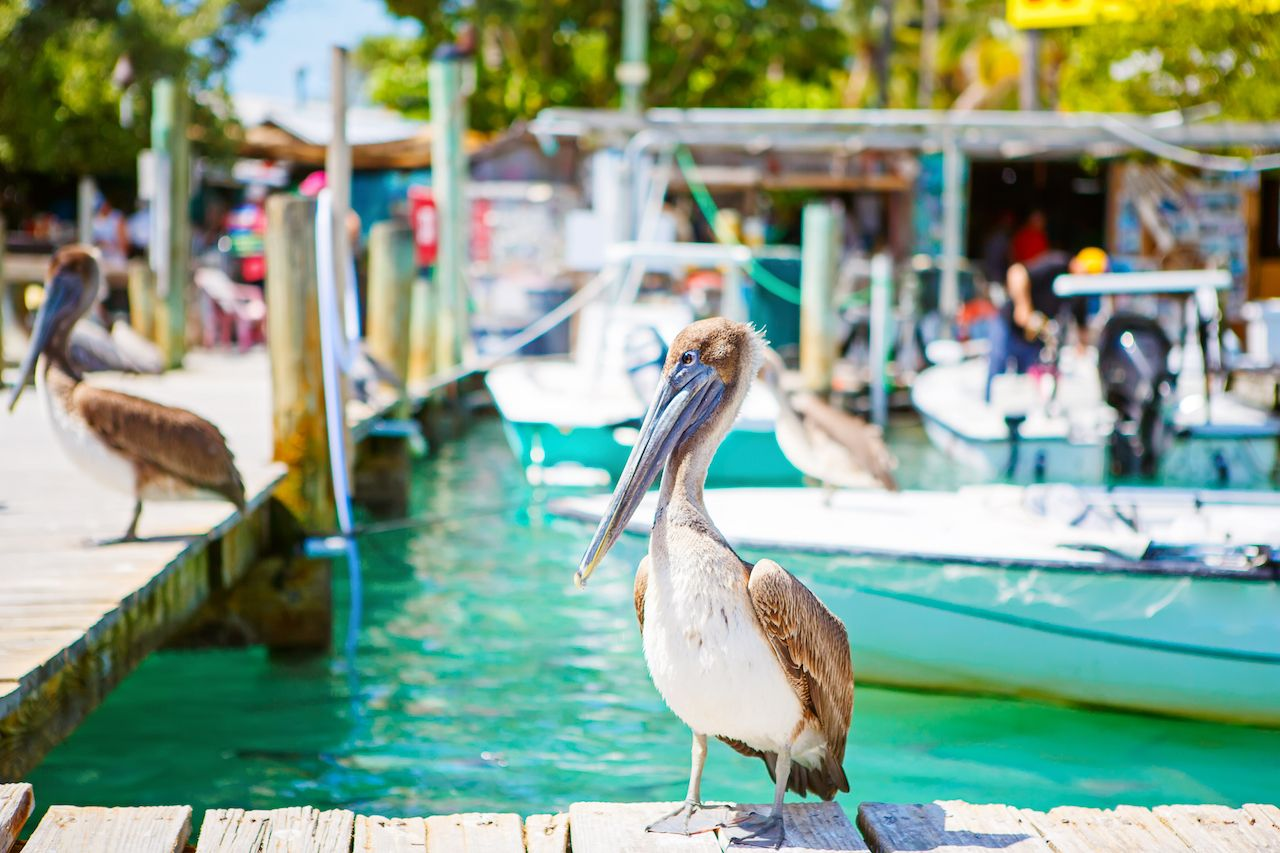 Big brown pelicans in port of Islamorada, Florida Keys