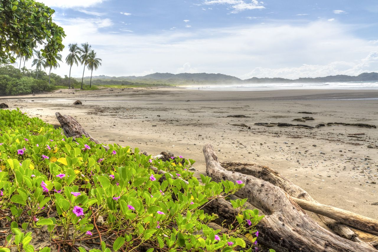Driftwood and flowery vegetation on Playa Guiones in Nosara, Costa Rica