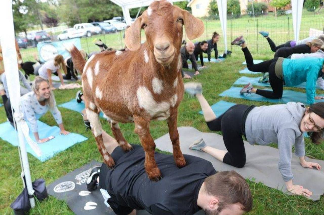 Goat Yoga Seattle